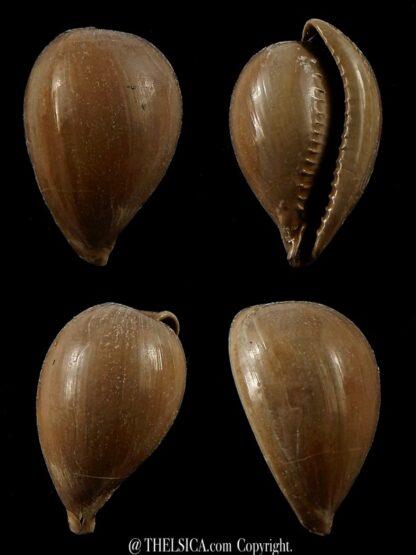 Notocypraea pyrulata 25,9 mm-0