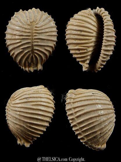 Trivellona avellanoides 18,3 mm-0