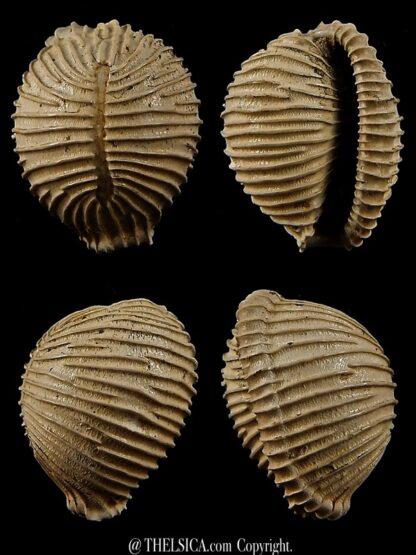Trivellona avellanoides 22,6 mm-0