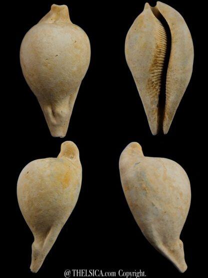 Umbilia eximia 81,8 mm-0