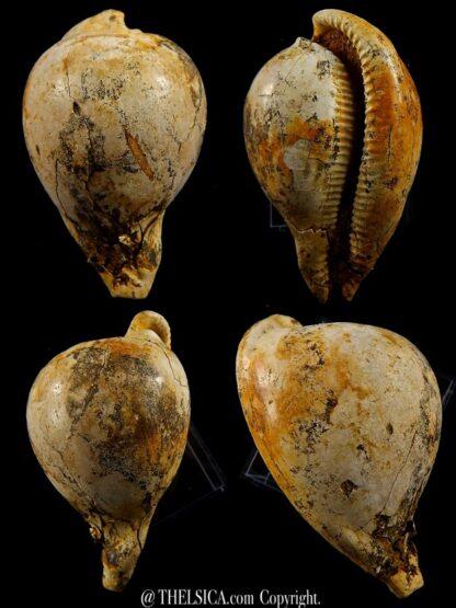 Umbilia leptorhyncha 61,5 mm-0