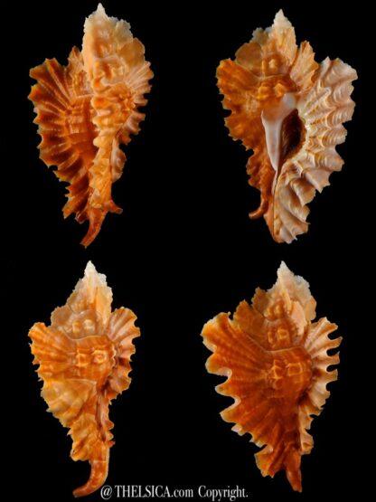 Timbellus phyllopterus 67,40 mm Gem-0