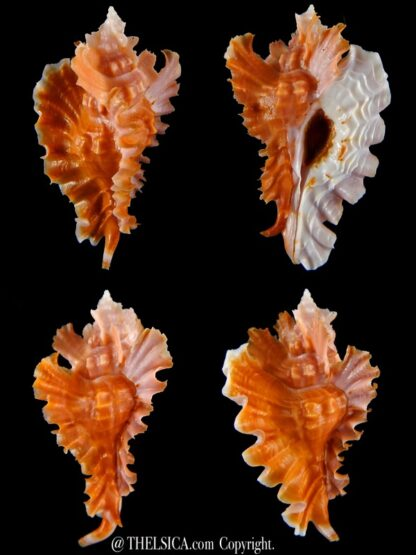 Timbellus phyllopterus 70,26 mm Gem-0