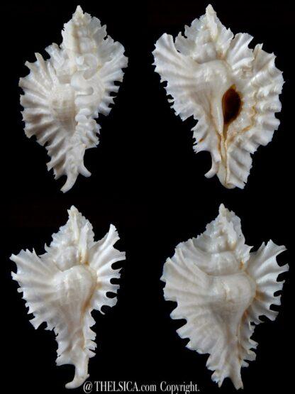 Timbellus phyllopterus ... Albino... 76,31 mm Gem-0