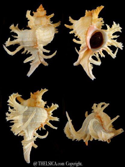 Chicoreus cornucervi albino 91,85 mm Gem-0