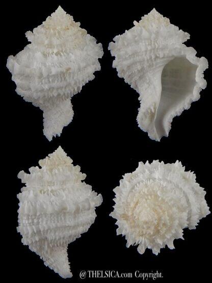 Hirtomurex teramachii 49,98 mm Gem -0