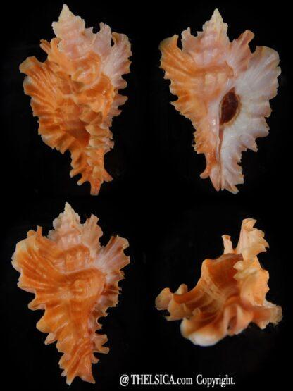 Timbellus phyllopterus ... Big size ... 77,74 mm Gem-0