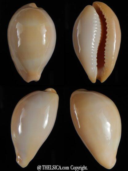 Erronea nymphae 34.78 mm Gem -0