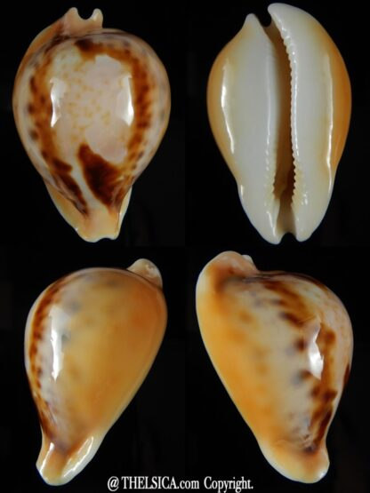 Nesiocypraea teramachii neocaledonica 54,98 mm Gem-0