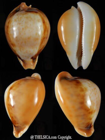 Nesiocypraea teramachii neocaledonica 56,85 mm Gem-0