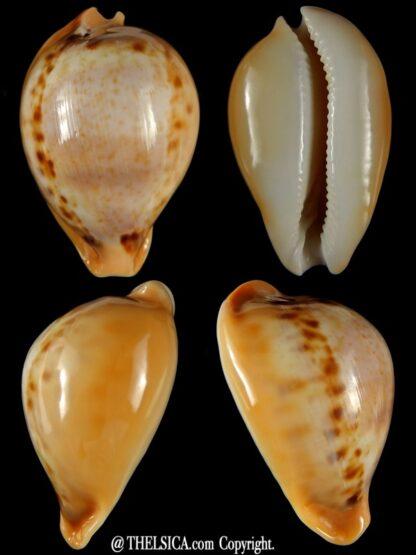 Nesiocypraea teramachii neocaledonica..GIANT... 61,70 mm Gem-0