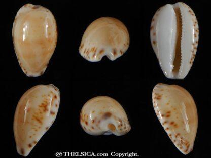 Notocypra conptoni mayi 23,06 mm Gem.-0