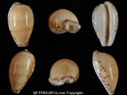 Notocypra conptoni mayi 23,94 mm Gem -0