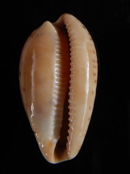 Notocypra conptoni trenberthae 26,15 mm Gem-52846