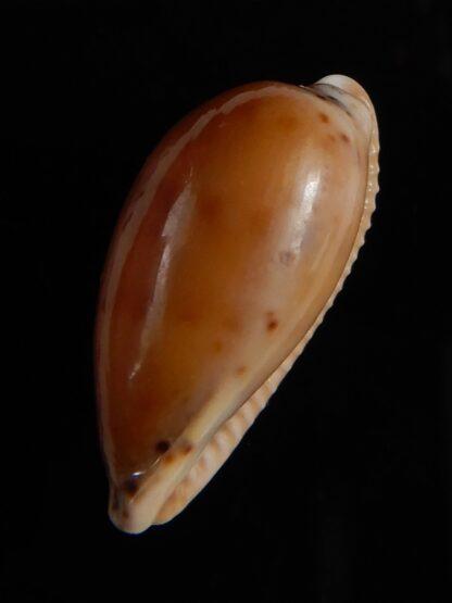 Notocypra conptoni trenberthae 26,15 mm Gem-52847