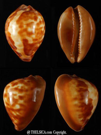 Zoila decipiens..GOLD... 46,83 mm Gem-0