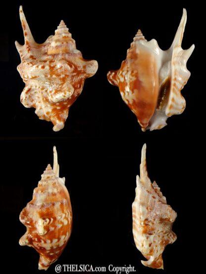 Sinustrombus taurus 87,86 mm Gem -0