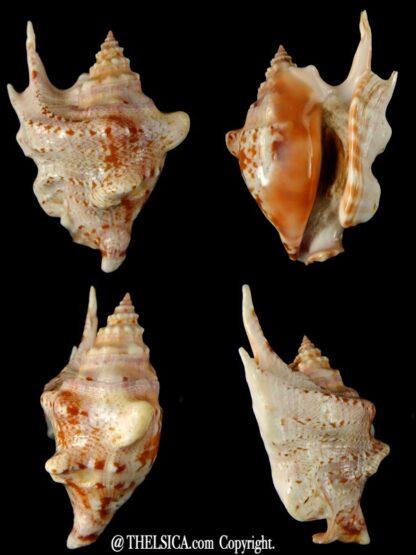 Sinustrombus taurus 88,80 mm Gem -0