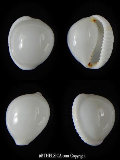 Trivella millardi 15,33 mm Gem-0