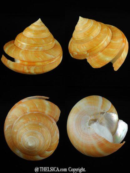 Bayerotrochus teramachii 104.40 mm Gem-0