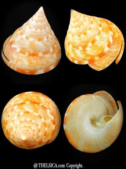 Mikadotrochus anseeuwi 54,6 mm Gem-0