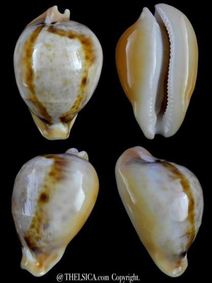 Nesiocypraea teramachii neocaledonica 57,2 mm Gem-0
