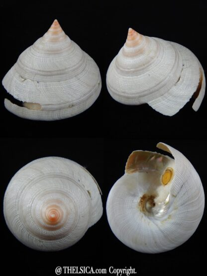 Mikadotrochus hirasei hirasei ,,, Albino...81,07 mm F++/F+++-0