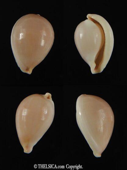 Globovula cavanaghi 14.30 mm Gem-0