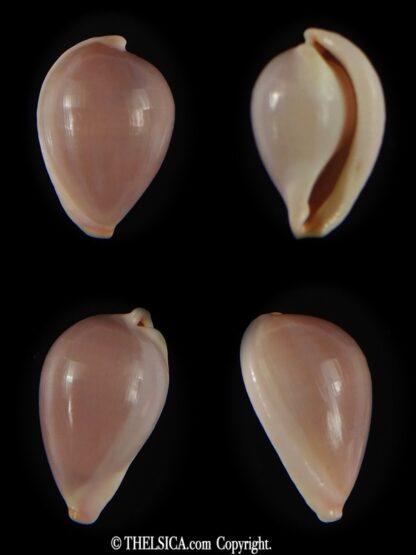 Globovula cavanaghi 14.82 mm Gem-0