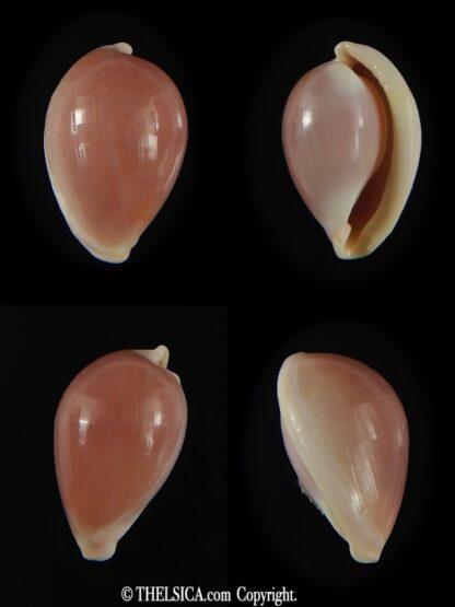 Globovula cavanaghi 14.51 mm Gem-0