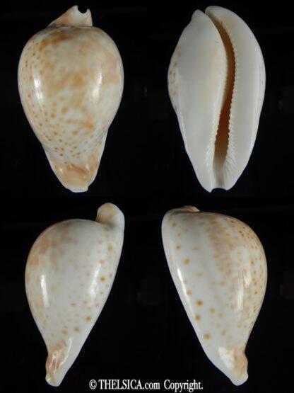 Umbilia hesitata hesitata 93.78 mm Gem-0