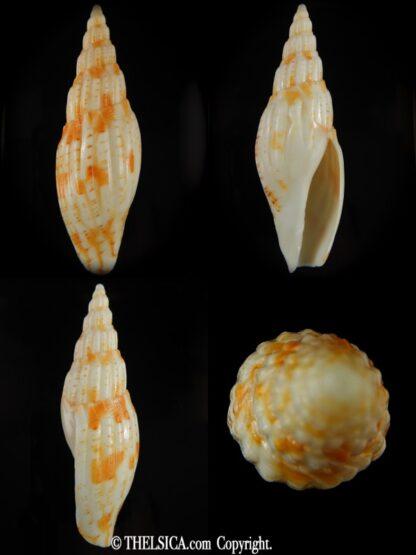 Lyria (Indolyria) leslieboschae 100.44 mm F++-0