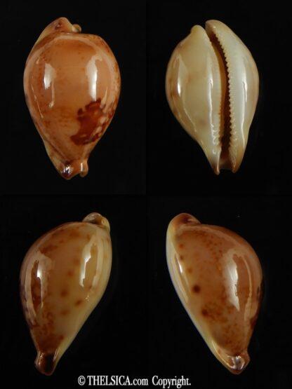 Austrasiatica hirasei philippina ... SUPER DWARF.. 30.70 mm Gem-0