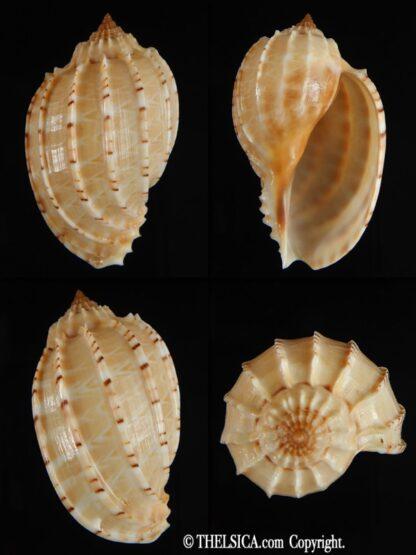 Harpa articularis 55.23 mm Gem-0