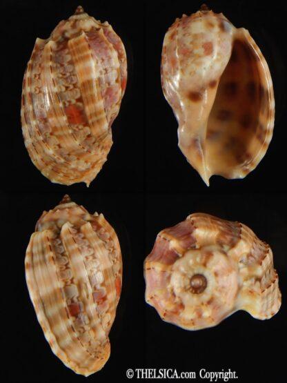 Harpa doris robusta 37.51 mm Gem-0