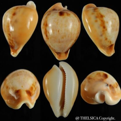 Nesiocypraea teramachii neocaledonica 52.43 mm Gem-0