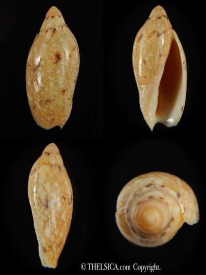 Amoria praetexta 41.92 mm F+++ -0