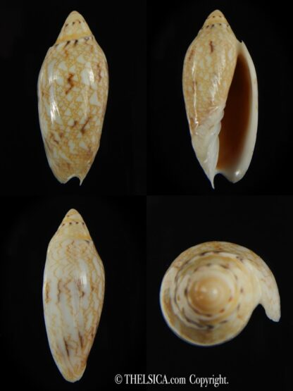 Amoria praetexta 44.42 mm Gem-0