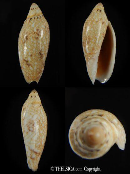 Amoria praetexta 46.12 mm Gem-0