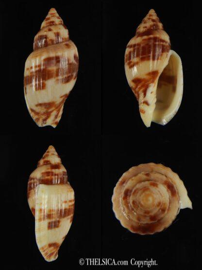 Lyria mitraeformis grangeri ..SP colour ... 40.53 mm F+++/Gem-0