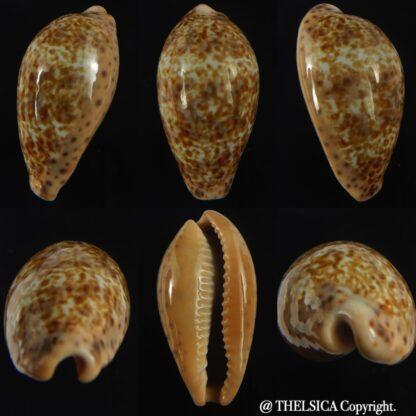 Pseudozonaria annettae annettae 42.85 mm Gem -0