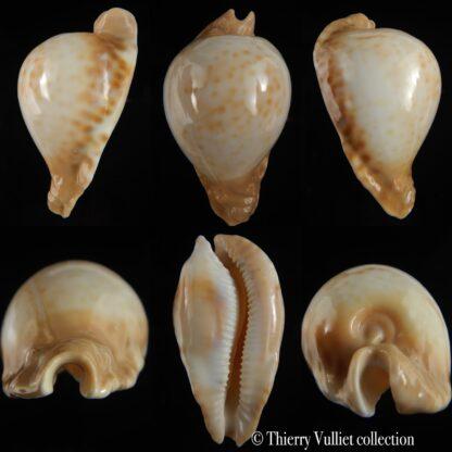 Umbilia petilirostris 81.30 mm Gem-0
