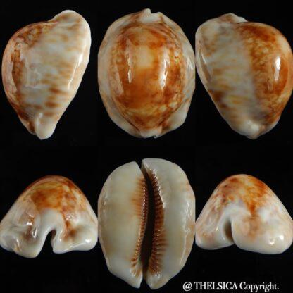 Mauritia maculifera scindata .. SP GOLD... 67.70 mm Gem -0