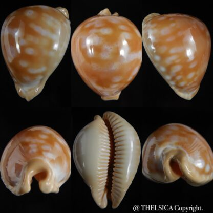 Callistocypraea leucodon escotoi ..big size .. 79.92 mm Gem -0
