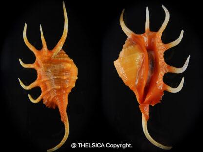 UntitledLambis crocata ..SP orange colour ...139,5 mm Gem -0