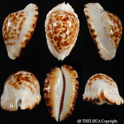 Zoila ketyana bataviensis 46.94 mm Gem-0