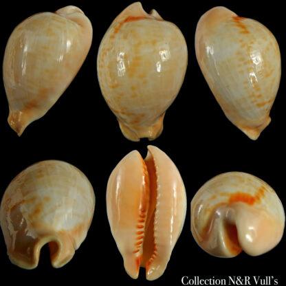 Muracypraea mus tristensis ..GOLD.. 55.15 mm Gem -0