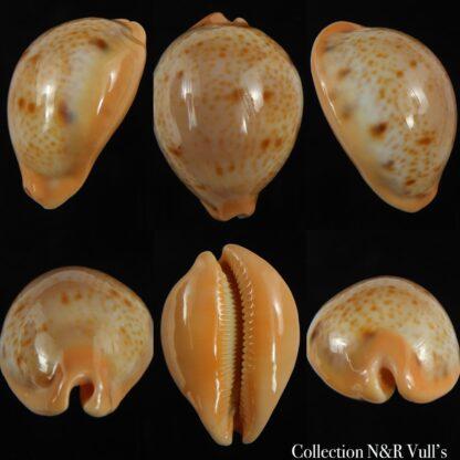Raybaudia porteri ...Big size... 48.52 mm Gem ( nigromaculata )-0