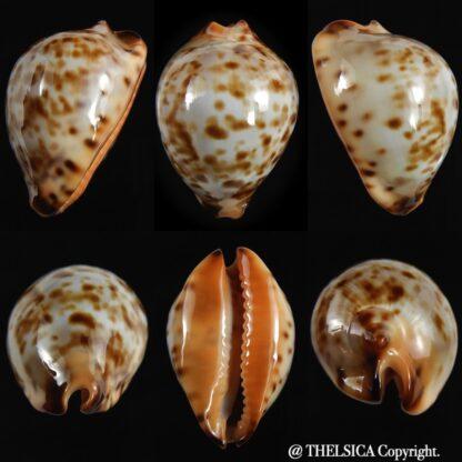 Zoila eludens stricklandi 36.70 mm Gem-0