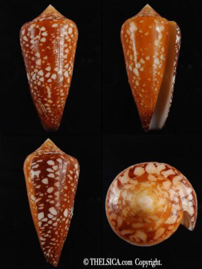 Darioconus crocatus 65.76 mm F+++/Gem-0